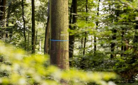Sternschnuppenbaum